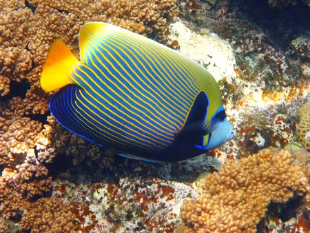 pomacanthus imperator: Imperatore rospi e barriera corallina in Mar Rosso