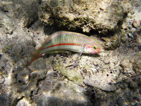 labridae: Klunzingers wrasse and coral reef in Red sea Stock Photo