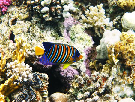 royal angelfish: Royal angelfish and coral reef in Red sea