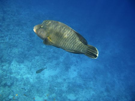 cheilinus undulatus: Napoleon wrasse and coral reef in Red sea