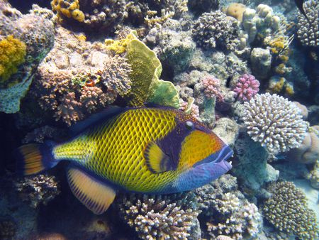 balistoides: Titan triggerfish and coral reef in Red sea Stock Photo