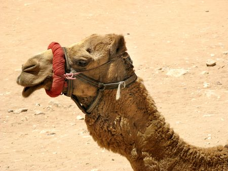 saddle camel: Camel in desert, Petra, Jordan, Middle east