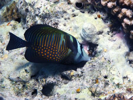 sailfin: Red Sea sailfin tang and coral reef Stock Photo