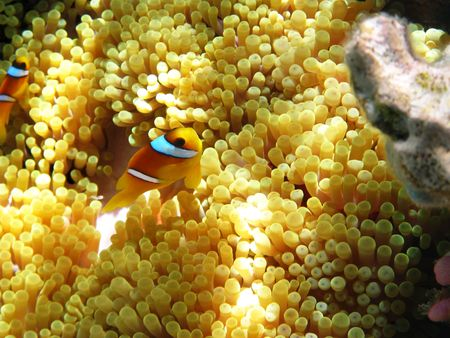 Two-banded clownfish and sea anemones in Red sea Stock Photo - 6208261