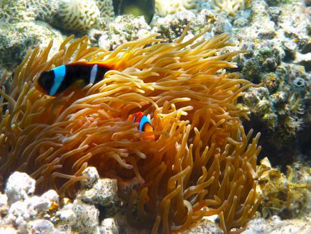 Two-banded clownfishes and sea anemones in Red sea Stock Photo - 6686155