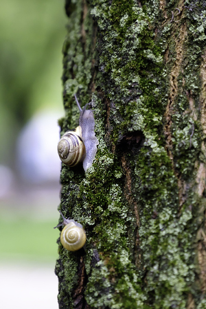 slithery: Land snail on the moss-grown tree bark. Stock Photo