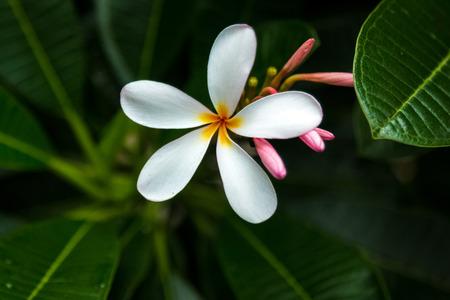 Plumeria in Hawaii Фото со стока
