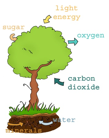 explanation: Photosynthesis explicative plan with text. Digital colors
