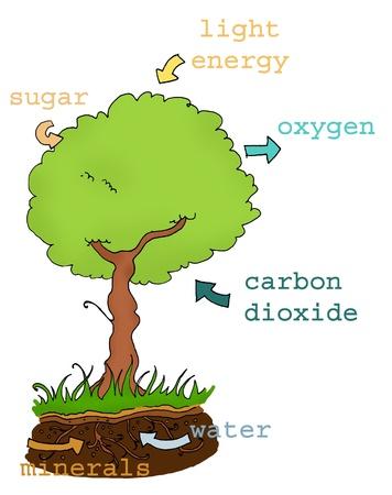 Plan explicativas de fotosíntesis con texto. Colores digitales