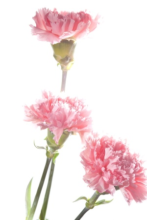 Bouquet of carnations closeup, bright pink flowers