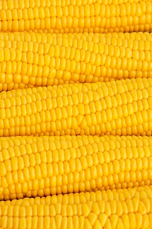 maize cultivation: Bright juicy corn on cob Stock Photo