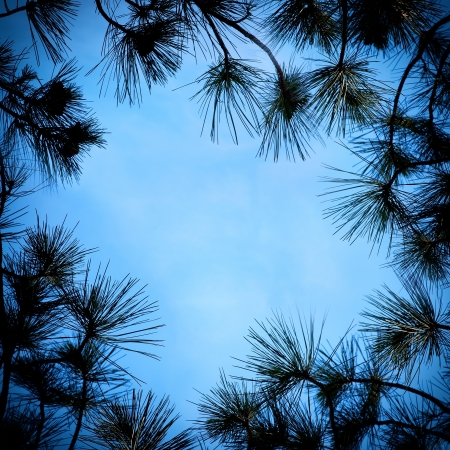 pine tree silhouette: Twigs and pine needles on the sky background Stock Photo