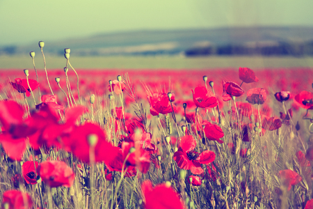 Beautiful field of red poppies.