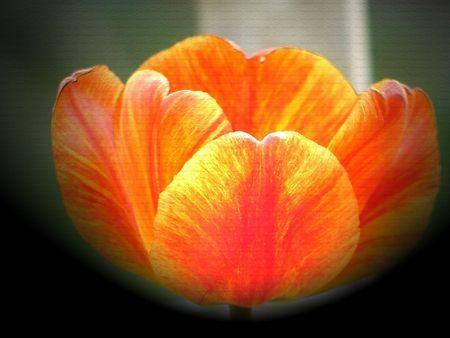 Easter Tulip Stock fotó