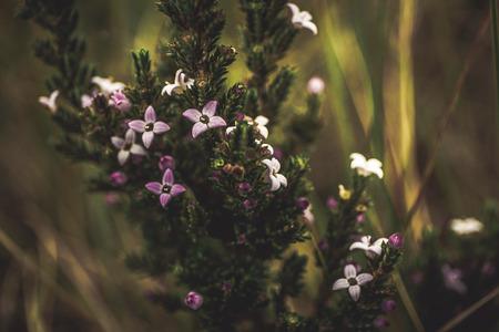 macrophotography: Sub paramo flowers, Pionono Stock Photo