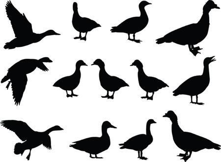 pato: gran colecci�n de pato - vector