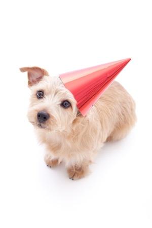 ノーフォーク ・ テリア犬の誕生日パーティの白い背景で隔離の帽子