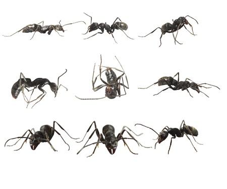 ants isolated on white background  photo