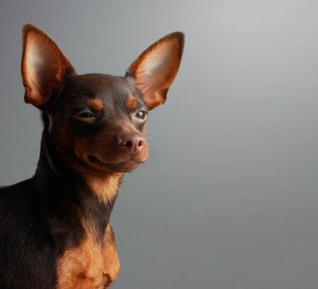 Miniature Pinscher puppy, 9 months old, photo