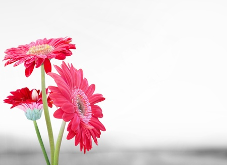 closeup of pink daisy with: Daisy flower gerbera bouquet