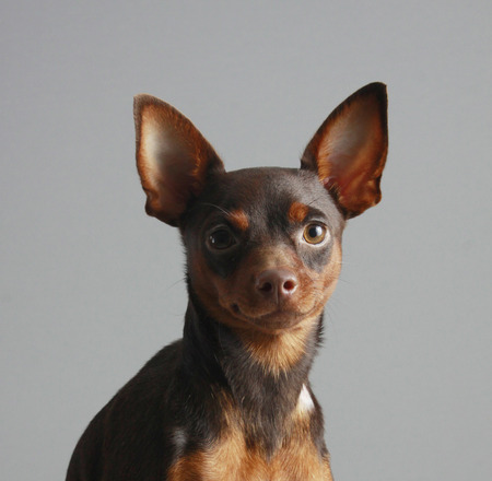 Miniature Pinscher on a gray background  photo
