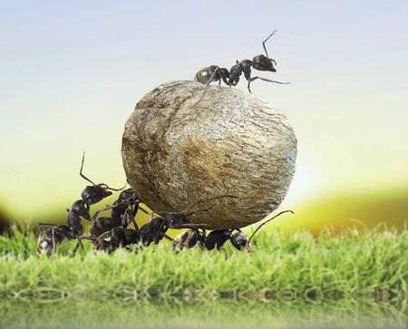 team of ants rolls stone Stockfoto