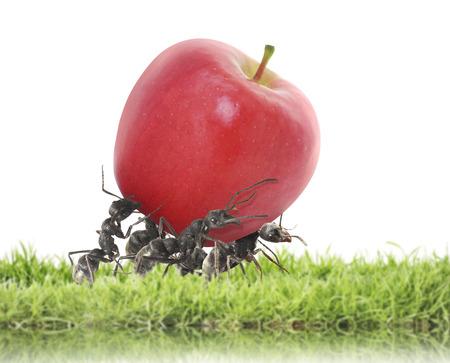 team of ants carry red apple Foto de archivo