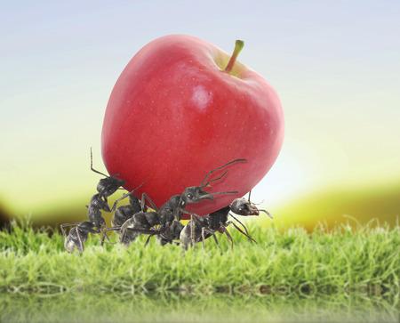 team of ants carry red apple Standard-Bild