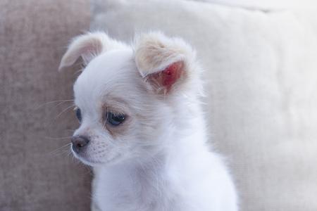 Chihuahua, Chiwawa light white,