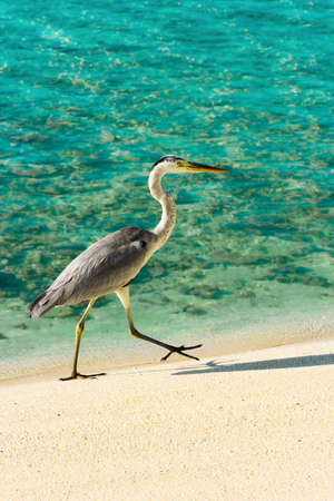 Heron walking on a tropical beach, nature background Stock Photo - 4343188
