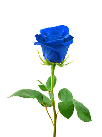 bunch of red roses: Blue rose isolated on white background