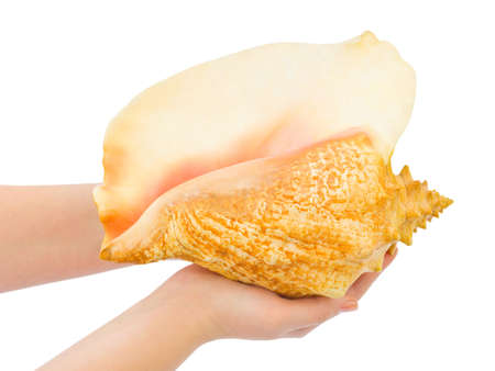 Hands and big conch isolated on white background photo