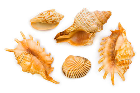 Group of sea conches isolated on white background photo