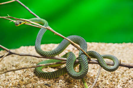 terrarium: Green snake in terrarium - animal background