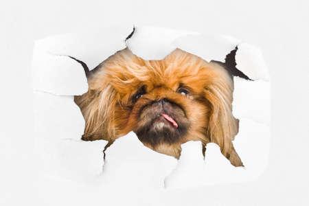 eye hole: Dog looking through hole on paper surface Stock Photo