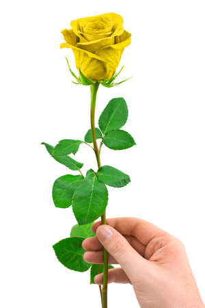 Gold rose in hand isolated on white background photo