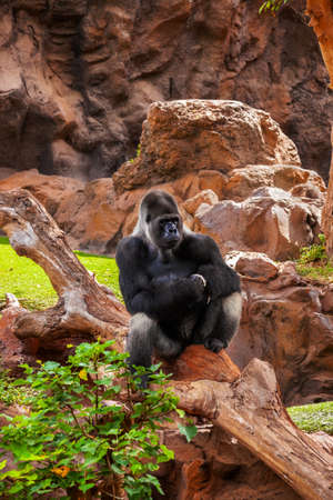 Gorilla monkey in park at Tenerife Canary - animal background photo