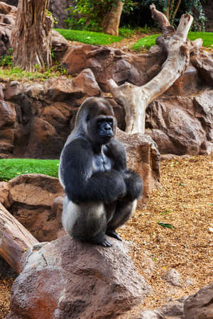 Gorilla monkey in park at Tenerife Canary - animal background Stock Photo - 16455839