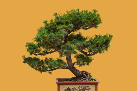 Bonsai tree isolated on yellow background
