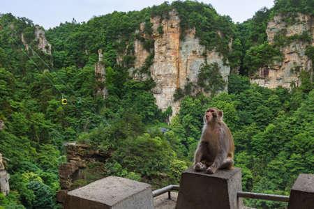 Monkey in Tianzi Avatar mountains nature park - Wulingyuan China - travel background Standard-Bild - 122107858