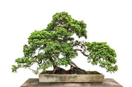 Bonsai tree isolated on white background Reklamní fotografie