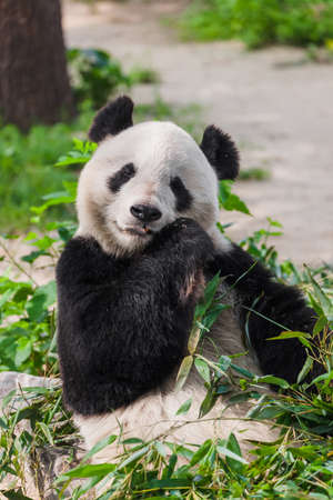Giant panda in park - animal background 写真素材