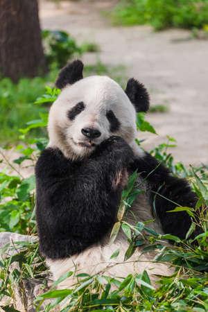 Panda gigante en el parque - fondo animal