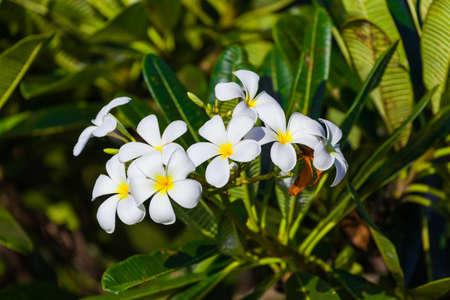Frangipani (Plumeria) flower - symbol of Bali Indonesia - nature background