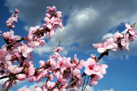 bloomy: Bloomy pink branches against the blue cloudy sky