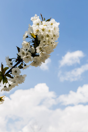 bloomy: Single tree branch with white colors against the blue sky