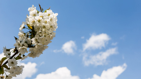 bloomy: Closeup of tree branch with white colors against the blue sky Stock Photo