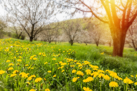 bloomy: Lush morning meadows with bloomy dandelion flowers
