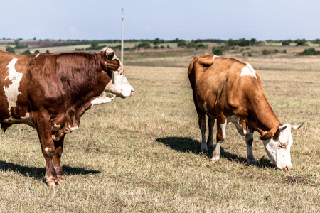 graze: Two cows on summer pasture in the farmlands Stock Photo