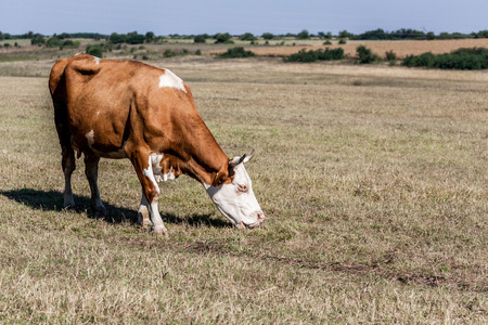 graze: Single brown colored cow grazing in the farmlands
